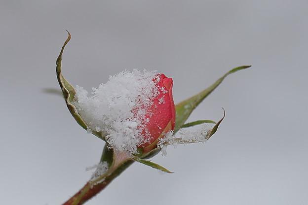 バラ 雪帽子
