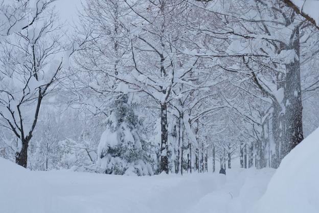 雪 メタセコイアの並木道