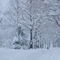写真: 雪 メタセコイアの並木道