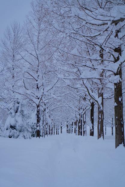 雪のメタセコイアの並木道