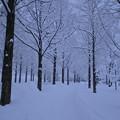 メタセコイアの並木道 雪
