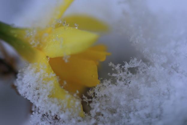 ミニスイセン & 雪