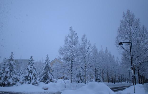 Photos: 雪降る メタセコイアの並木道