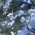 兼六園 梅が開花(2)