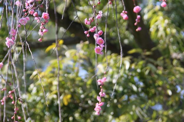 兼六園 枝垂れ梅