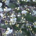 写真: 緑咢枝垂れ