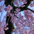 Photos: 枝垂れ桜(3)