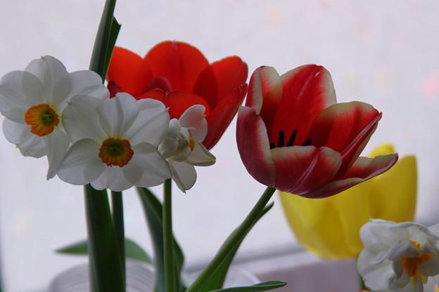 チューリップと水仙