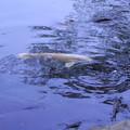 Photos: 霞ヶ池 鯉(2)