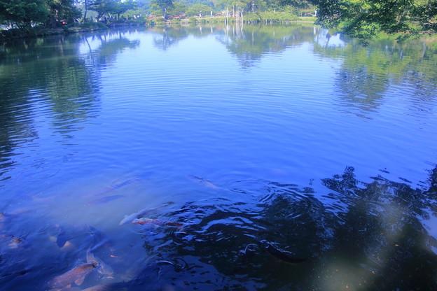 霞ヶ池 鯉
