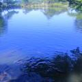 Photos: 霞ヶ池 鯉(1)