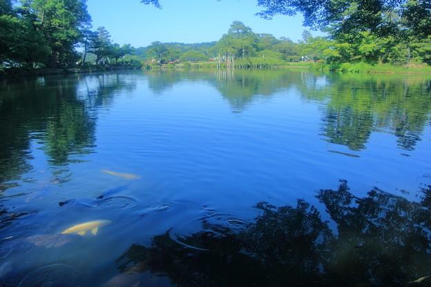 霞ヶ池 鯉(2)