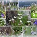 写真: 白山高山植物園 ミヤマオダマキ  ムカゴトラノオ  シコタンソウ