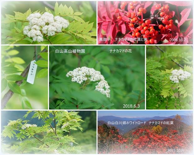 白山高山植物園 ナナカマドの花  秋の紅葉と実