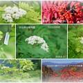 写真: 白山高山植物園 ナナカマドの花  秋の紅葉と実