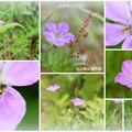 Photos: 白山高山植物園 ハクサンフウロ