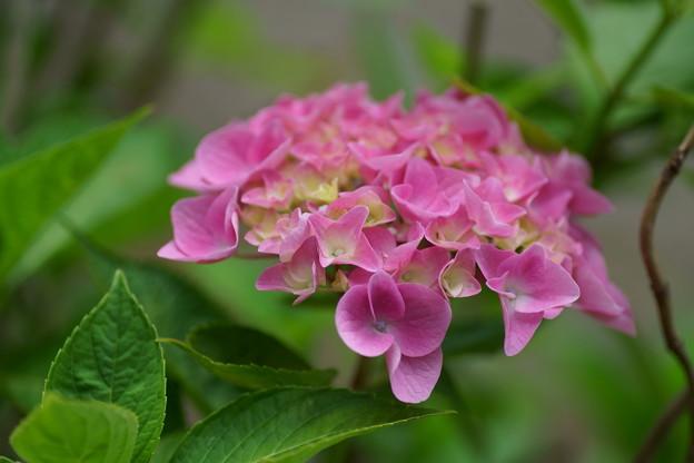 紫陽花 ピンク