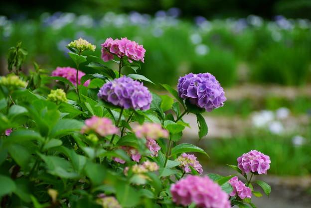 紫陽花  卯辰山花菖蒲園