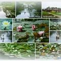 写真: 奥卯辰山健民公園 白鳥とスイレン