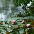 写真: ピンクのスイレン