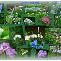 写真: 卯辰山花菖蒲園