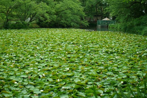 奥卯辰山健民公園 スイレン