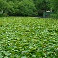 写真: 奥卯辰山健民公園 スイレン