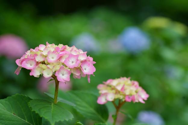 写真: ピンクの紫陽花