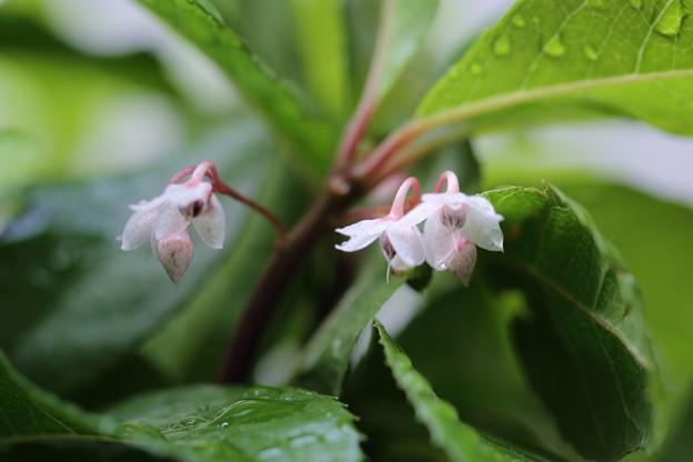写真: ヤブコウジの小さな花が開花♪