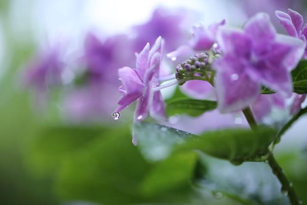 Photos: 紫陽花 しずく