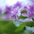 写真: 紫陽花 しずく
