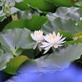 Photos: 白い睡蓮