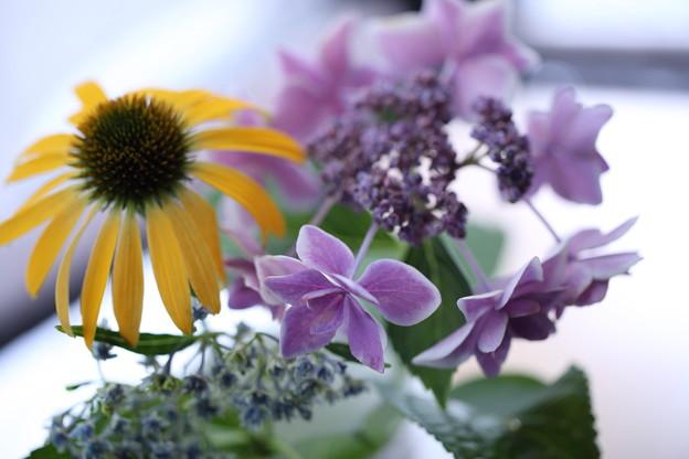 エキナセア   紫陽花 コンペイトウ