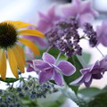 写真: エキナセア   紫陽花 コンペイトウ