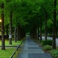 Photos: 夕暮れのメタセコイアの並木道