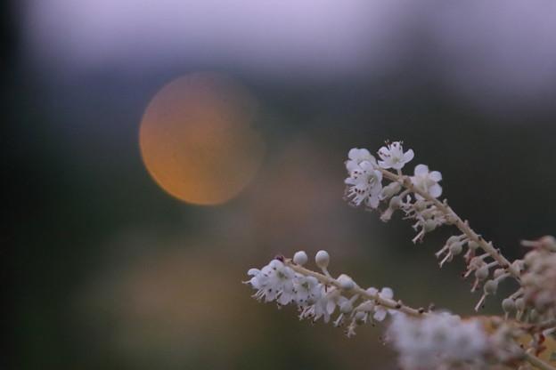 写真: 日が暮れて リョウブ