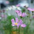 写真: コスモス(2)