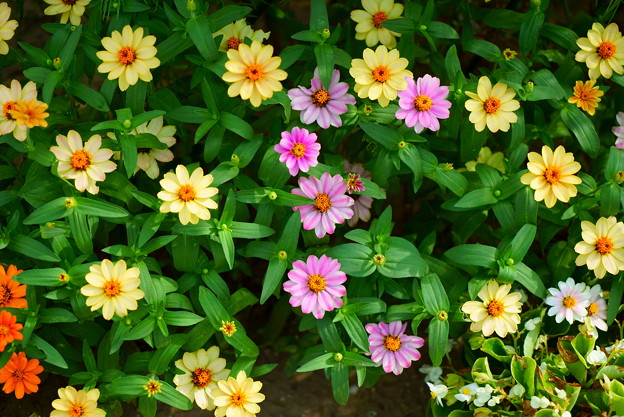 街の花壇  ジニア