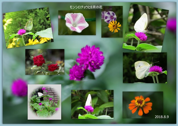 モンシロチョウと8月の花