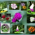 写真: モンシロチョウと8月の花