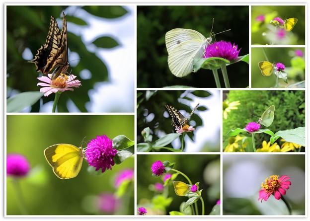 我が家の花と蝶