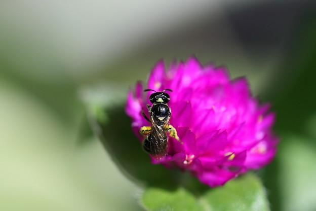 千日紅 蜂 「キオビツヤハナバチのメス」