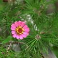 写真: 百日草と松