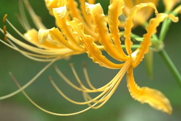 黄色の彼岸花