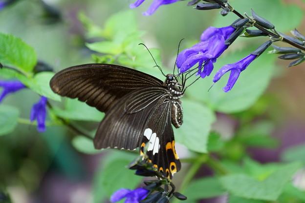アゲハチョウ(1)