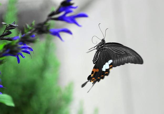 写真: アゲハチョウ(2)  ふわり