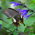 アゲハチョウ(3)