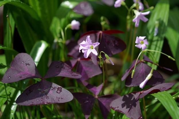 オキザリス・トリアングラリス(紫の舞)
