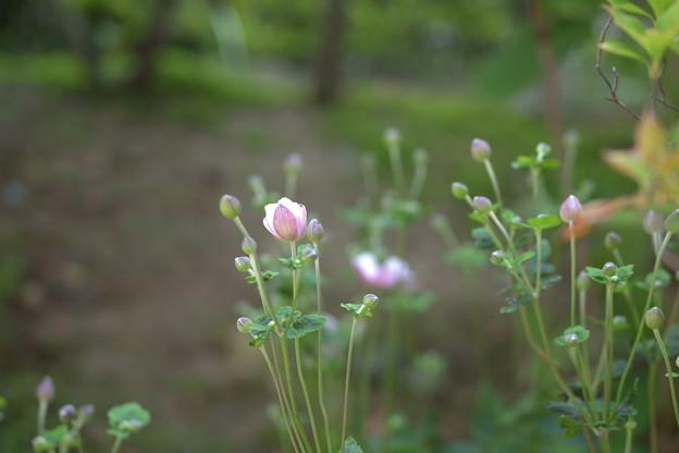 シュウメイギク  まもなく開花