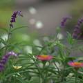 写真: 秋の庭  アメジストセージ